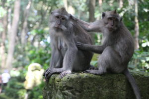 Monkeys in Bali